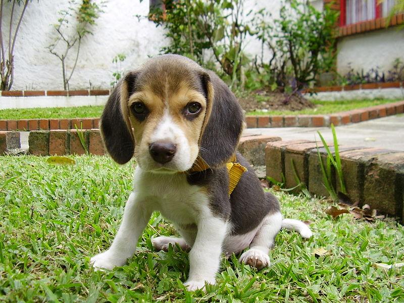 Šuo, kuris gali būti jūsų draugas